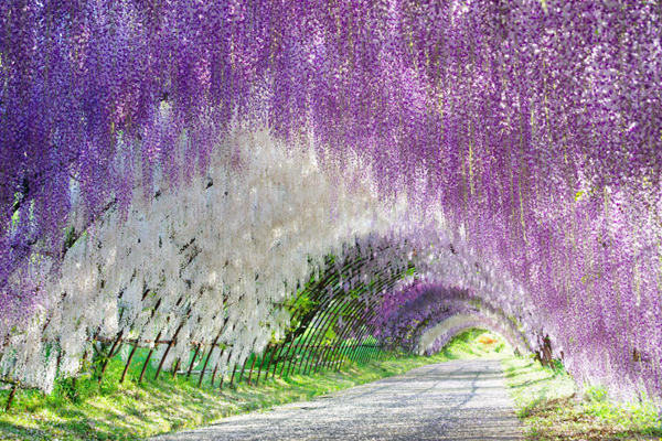 wisteria-tunnel-japan-woe1